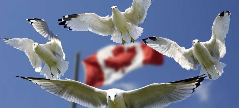 Gulls surrounding the Canadian flag.