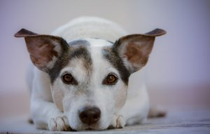 A white dog with brown ears, eyes and nose.