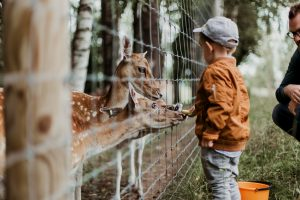 young boy feeding deers in a zoo