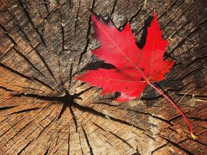 Maple leaf on a piece of wood