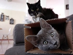 Two cats playing with a box