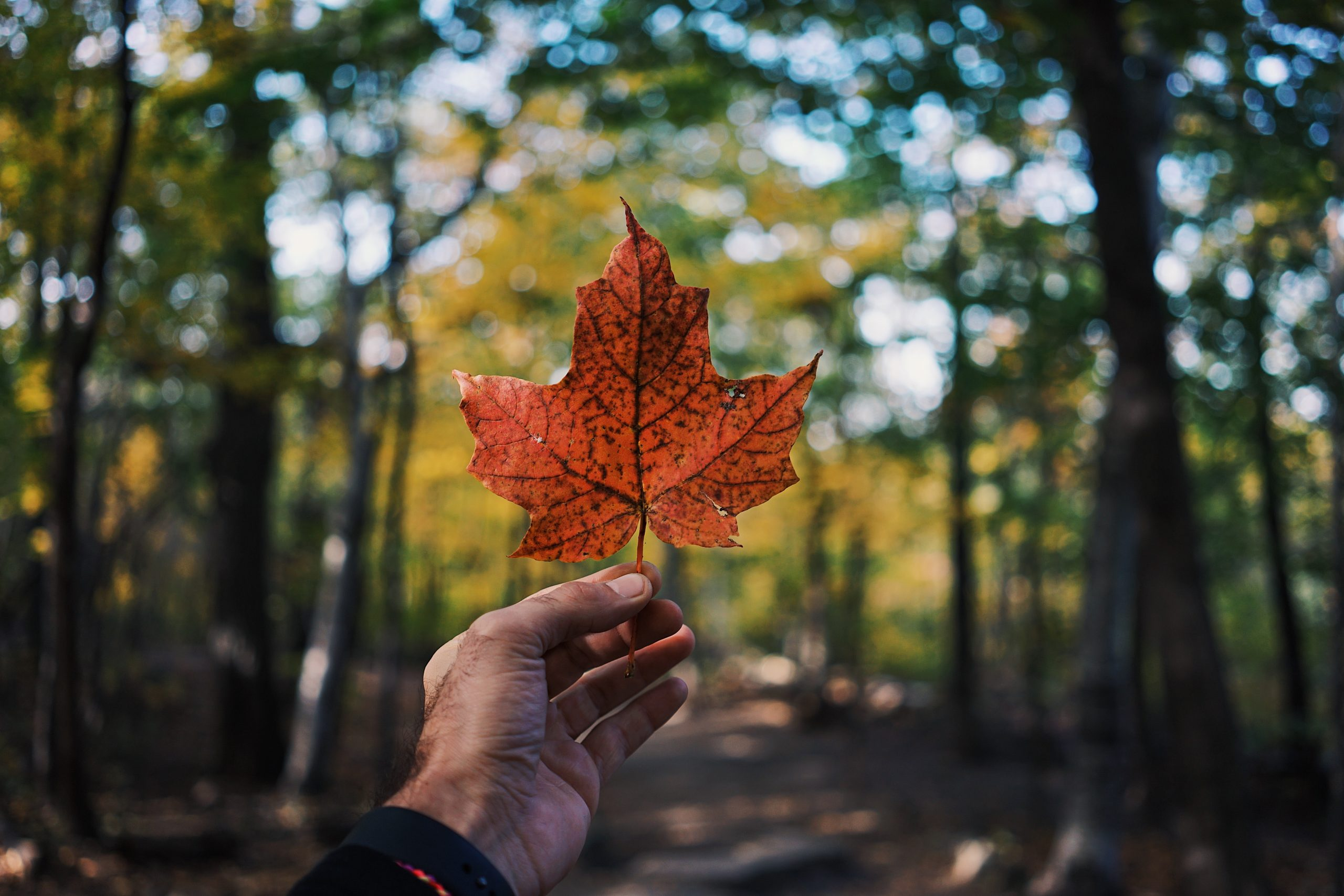 person holding a brown maple leaf